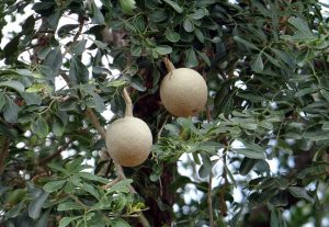 Wood apple fruit