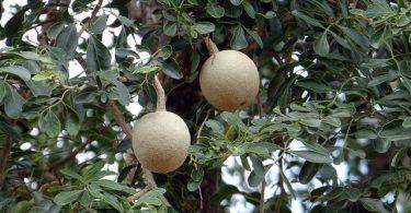 Wood apple fruit
