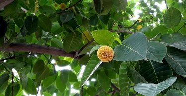 Kadamba Tree or Neolmarckia cadamba