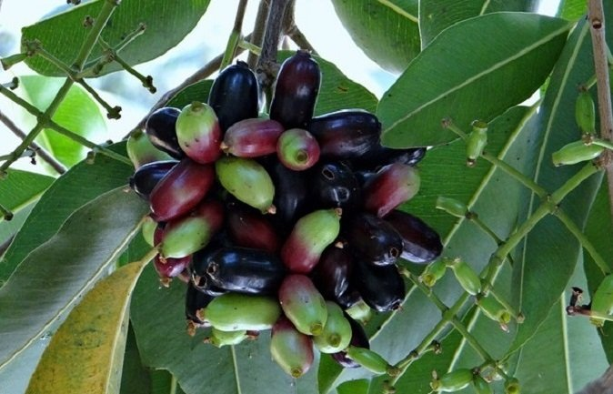 jamun or java plum