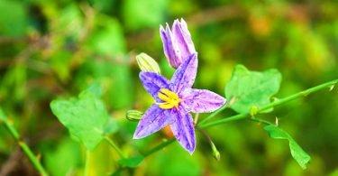 Solanum trilobatum plant