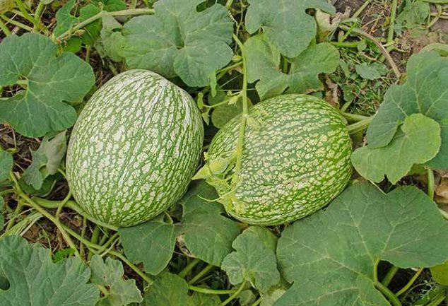 Fig leaf gourd or Chilacayote