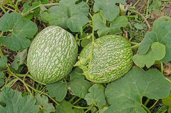 Fig leaf gourd or Chilacayote